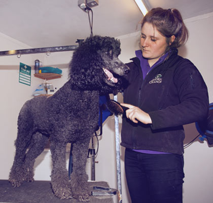 photo of poodle being groomed